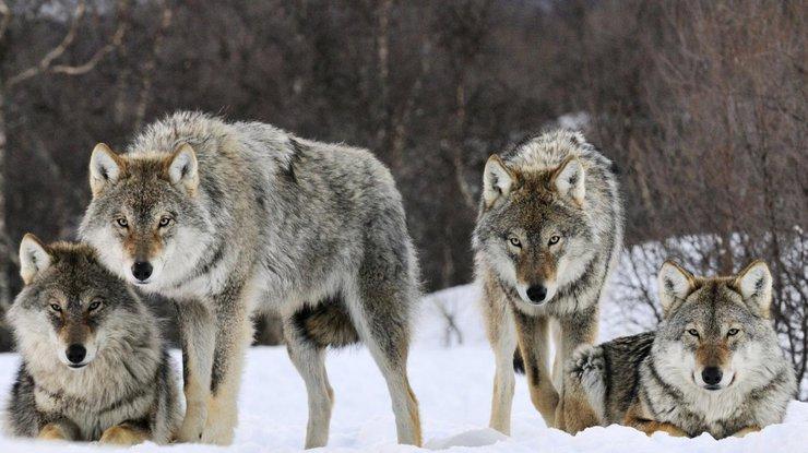 Ученые: Собаки оказались эгоистичнее волков при коллективной добыче пищи