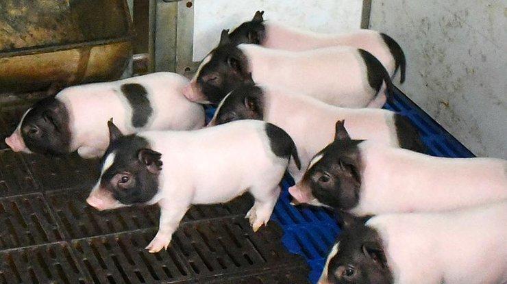 ВКитайской республике произвели свиней снизким содержимым жира