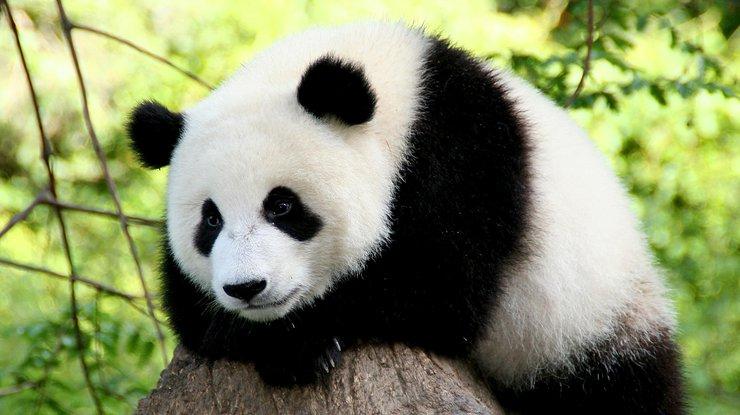 Ученые: Первые предки огромных панд могли жить вевропейских странах