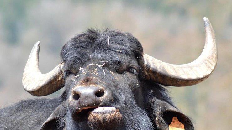 Секс буйвол