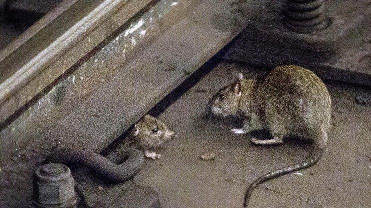 ВНью-Йорке из-за нашествия крыс соберут экстренное совещание