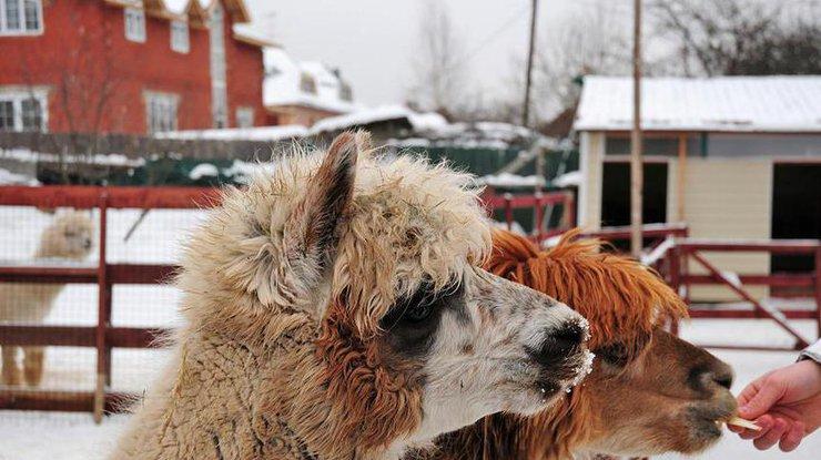 Вгосударстве Украина посетители зоопарка досмерти закормили альпаку