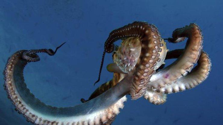 Семирукий осьминог – один из самых крупных среди известных видов головоногих