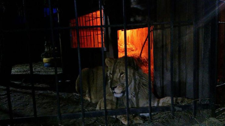 ВЗапорожье лев напал напосетителя бани