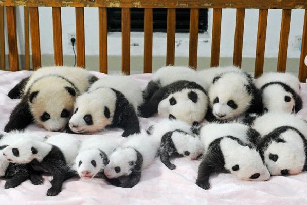 Стриптизерша панду видео