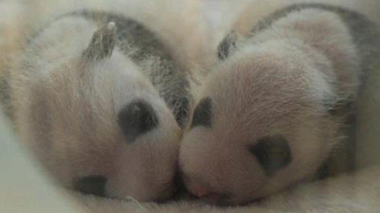 Панды-близнецы родились в КНР