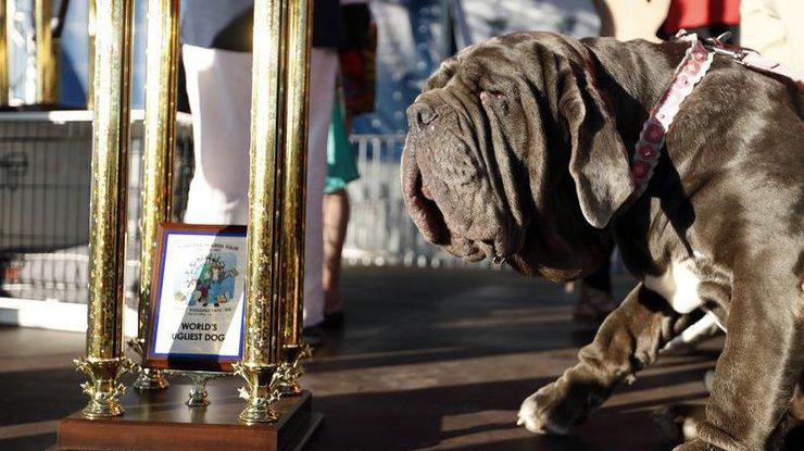 Самой уродливой собакой вмире стал неаполитанский мастиф покличке Марта