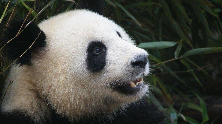 Самые несуразные падения панд собрали водну видеоподборку