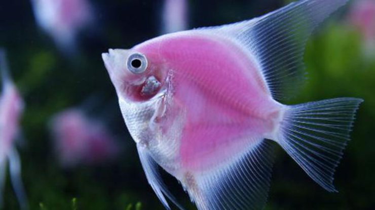 Ученые: Аквариумные рыбки владеют разными характерами