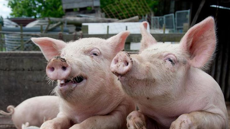 ВКитайской народной республике свинья отбила собрата умясников