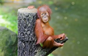 Фото: vokrugsveta.ua / Индонезия - орангутан