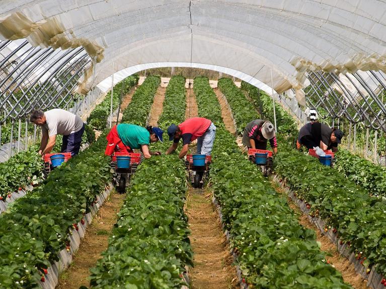 Ферма по выращиванию малины 60