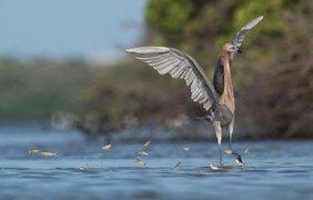 Фото: голубоногая цапля