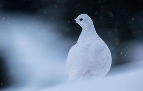 Фото: белохвостый рябчик