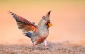 Фото: попугайный кардинал