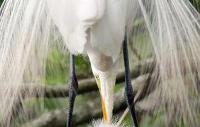 Фото: большая белая цапля
