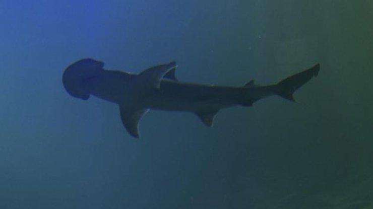 Ученые нашли первую акулу, которая питается водорослями