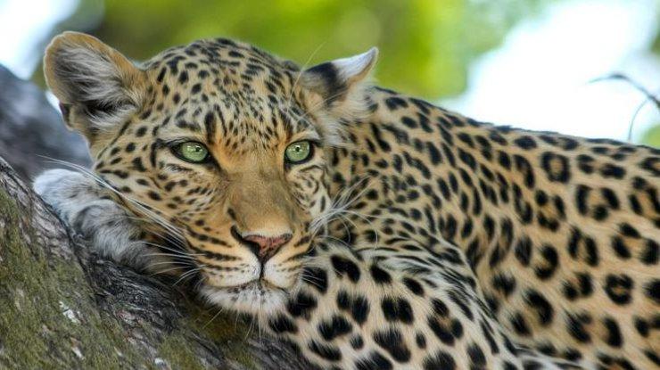 ВИндии леопард напал наместных граждан вовремя охоты