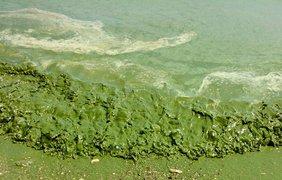 Черное море позеленело