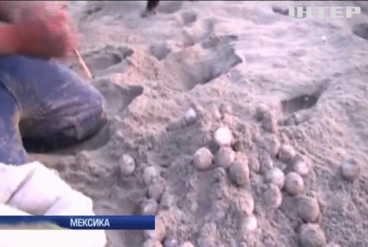 У Мексиці викрали тисячі яєць рідкісних черепах