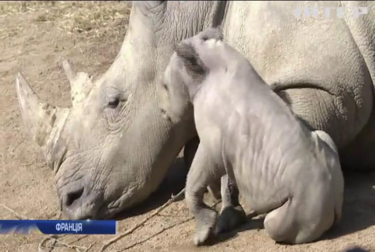 В зоопарку Франції народився білий носоріг
