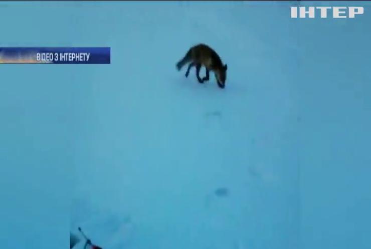 Лисиця вкрала вудку у рибалок (відео)
