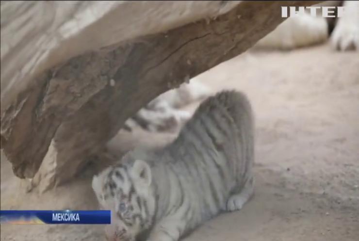 У мексиканському зоопарку показали рідкісних білих тигренят