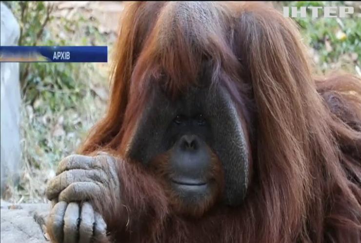 У США померла мавпа, що знала людську мову жестів
