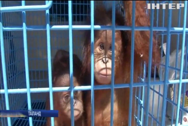 Таїландському зоопарку передали дитинчат орангутанга