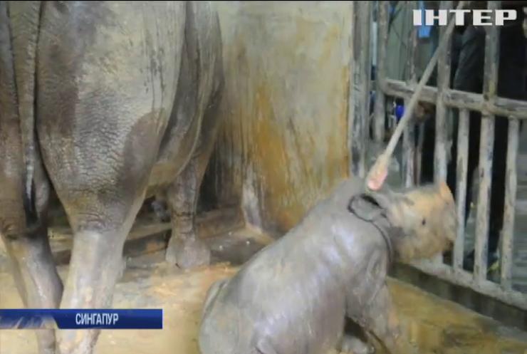 У Сингапурі показали дитинча білого носорога