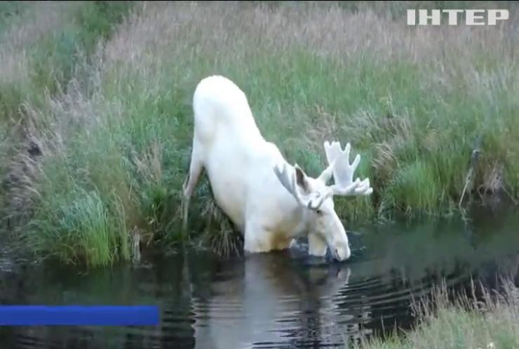 У Швеції врятували рідкісного білого лося (відео)