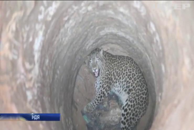 В Індії мисливці врятували з колодязя леопарда (відео)
