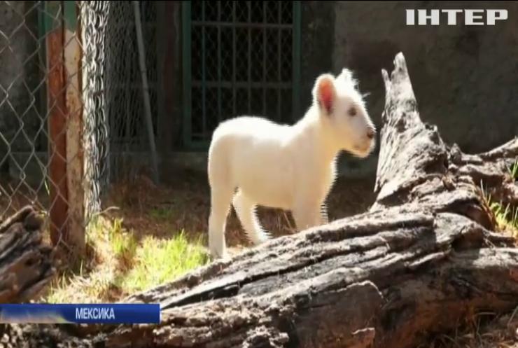 У Мексиці вибирають ім'я білому левеняті