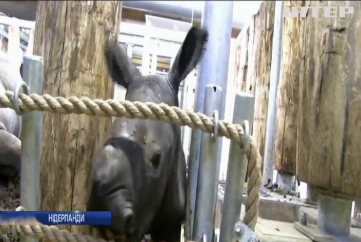 Нідерландський зоопарк поповнився дитинчам білого носорога (відео)