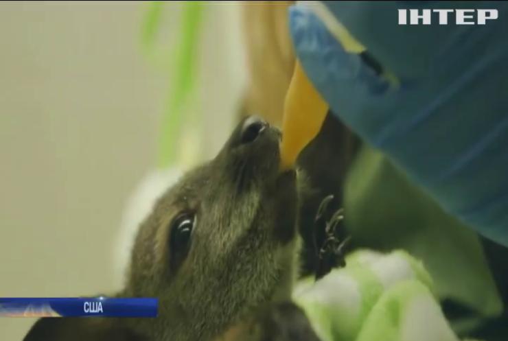 Відвідувачам зоопарку у Сан-Дієго показали новонароджених валабі
