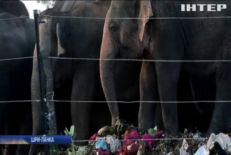 У Шрі-Ланці слони з'їли сміття на звалищі (відео)