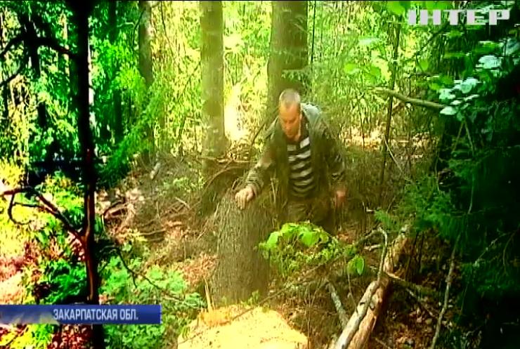 Карпатский биосферный заповедник: кто стоит за незаконными вырубками?