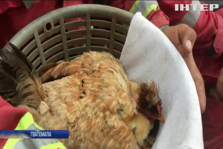 Виверження вулкану у Гватемалі: рятувальники надали допомогу курчатам (відео)