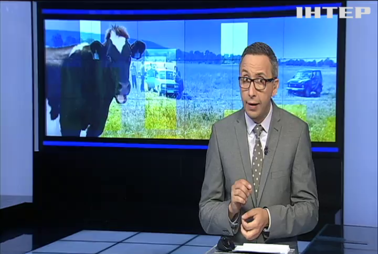 Корова-втікачка: як тварина перетнула кордон ЄС (відео)