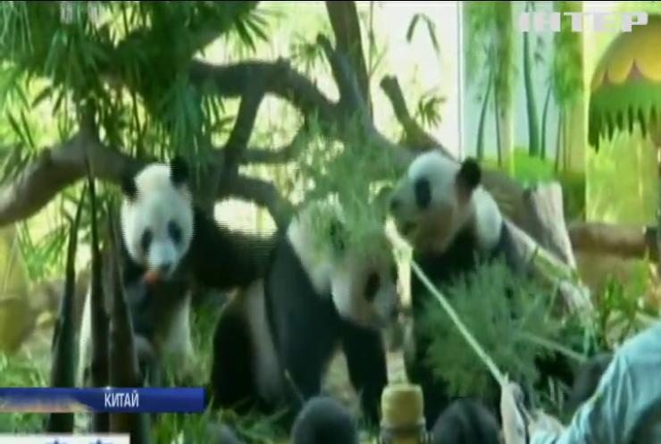 Єдині у світі панди-трійнята відсвяткували день народження