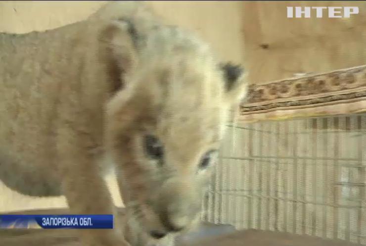 Зоопарк під Запоріжжям поповнився дитинчатами леопарда