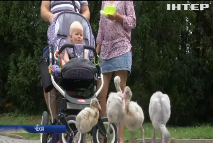 У празькому зоопарку пташенят фламінго вчать ходити