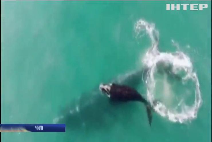 Поблизу берегів Чилі дайвери зафільмували південних китів
