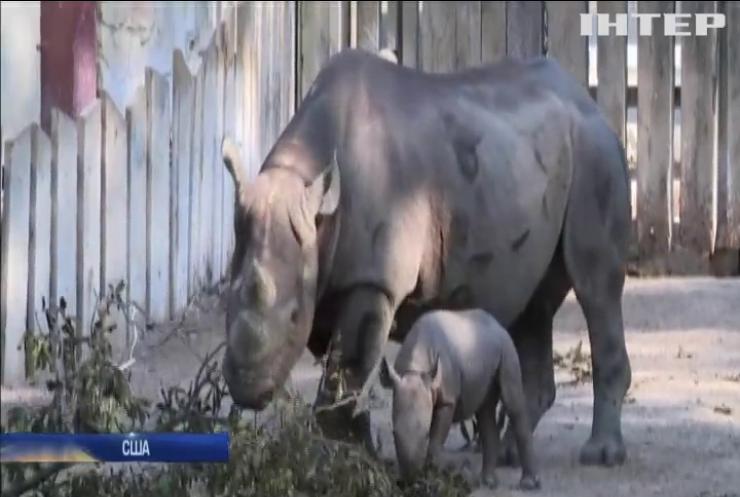 У Клівлендському зоопарку показали дитинча чорного носорога