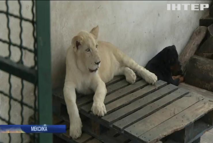 Мексиканець лякає сусідів трьома домашніми левами (відео)