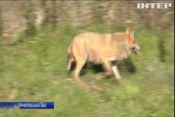 На Тернопільщині села потерпають від нападу вовків