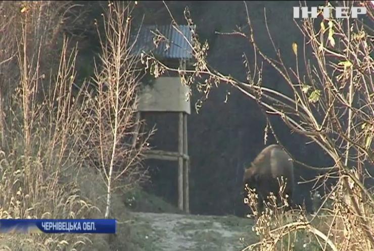 На Буковині почали відновлювати популяцію зубрів