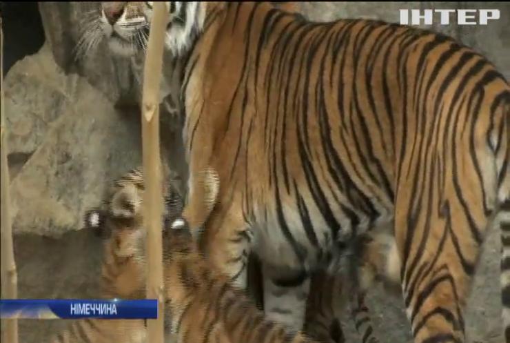 У берлінському зоопарку вперше показали малят суматранських тигрів