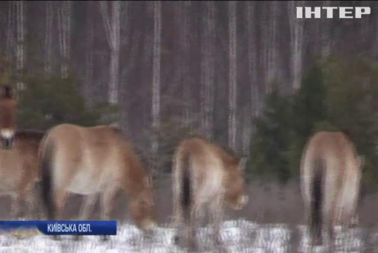 У Чорнобильській зоні шукають диких тварин (відео)