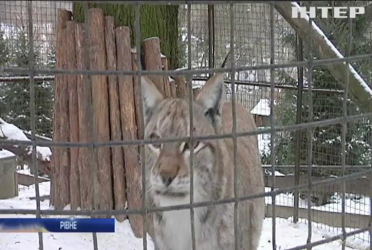 Знайдена в Житомирі рись освоюється у Рівненському зоопарку